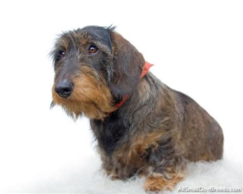 wired puppy adorbs wirehaired dachshund animals wire haired dachshund and wire