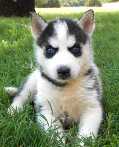 white german shepherd puppies price white german shepherd puppies with blue eyeskindofpets kindofpets