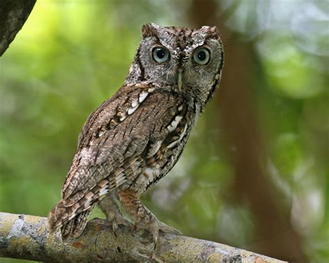eastern screech owl photos birdspix
