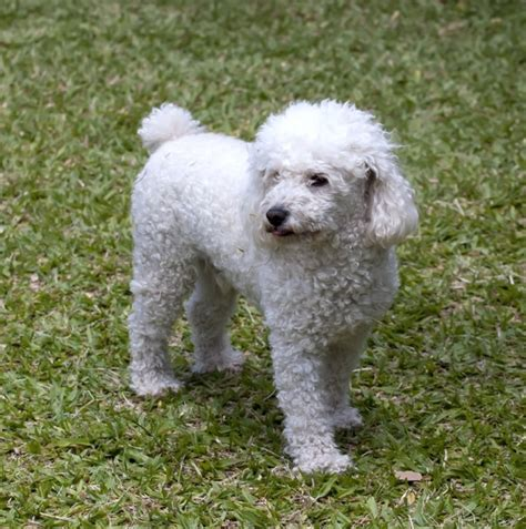 akc show akc show quality chion bloodline poodle puppy offer