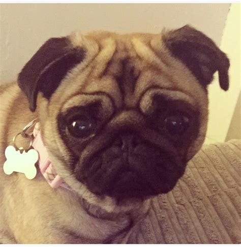 peggy the pug forever home for peggy pug wakefield west pets4homes