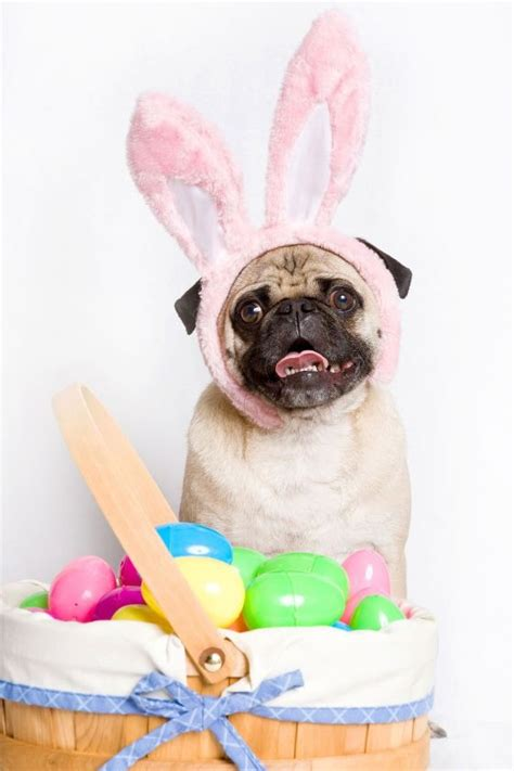 happy easter pug 17 best images about easter pets on chihuahuas easter peeps and a bunny