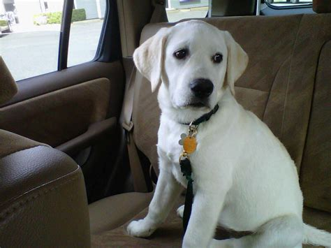 white lab puppies colorado white lab puppies and white labrador retrievers puppies snow white polar