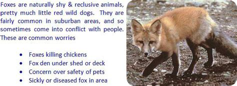how to get rid of foxes in backyard how to get rid of foxes in backyard home design