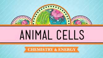 Animal cells facts animal cell model diagram project parts structure