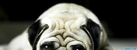pug cover photo carlin pug cover timeline photo banner for fb