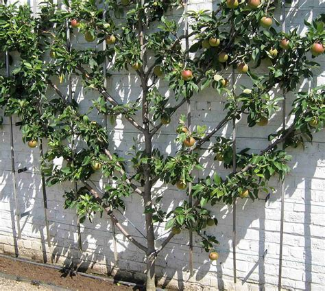 pre trained orchard pack for cordon espalier and fan shaped trees suffolk fruit and trees