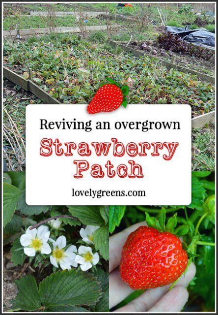 Spei Sprey Bed Cover Strawberry Reviving An Overgrown Strawberry Patch Lovely Greens