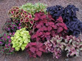 coleus blueberry waffle tribalmystic stories