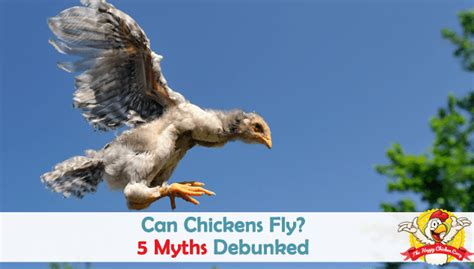 chickens fly  myths debunked