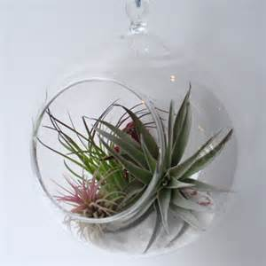hanging orb terrarium with air plants grounded modern living