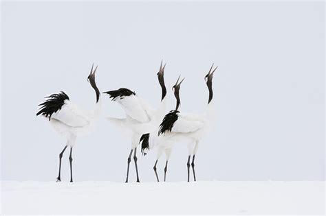 imagenes grullas japonesas las 40 mejores fotograf 237 as de marsel van oosten ibytes
