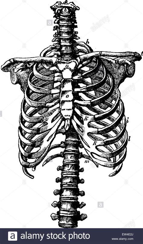 gabbia toracica la colonna vertebrale e la gabbia toracica diritti