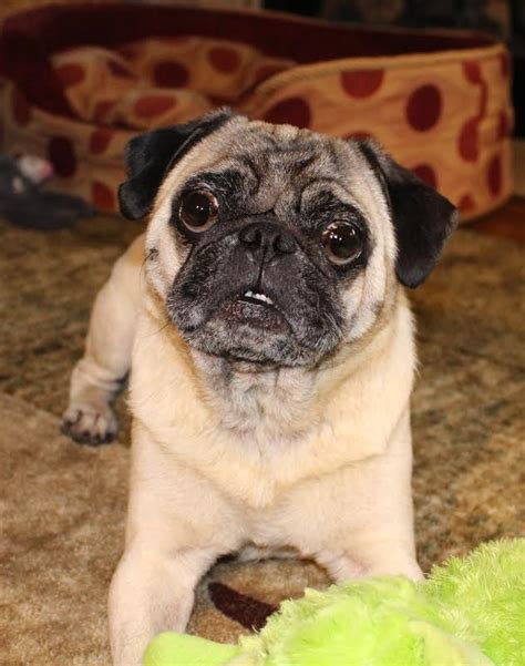 my wing pug rescue pugs my wing pug rescue page 6