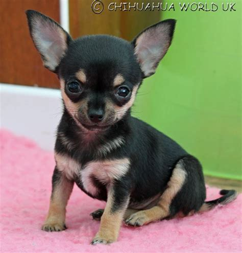 how many puppies do chihuahuas the time chihuahua world uk thinking of buying a chihuahua