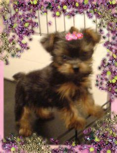 yorkie poo puppies for sale in minneapolis mn 1000 images about loveable designer puppies on pomsky puppies morkie