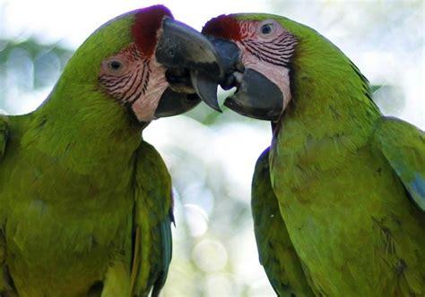 imagenes guacamayas verdes dos especies en peligro de extinci 243 n necesitan de
