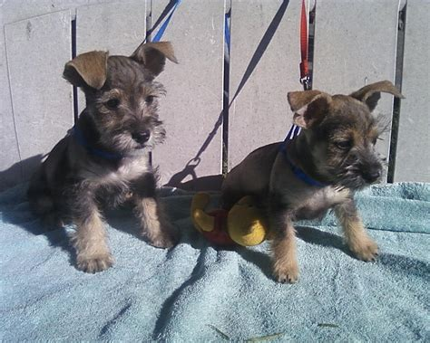 schnauzer mix puppies chizer chihuahua x miniature schnauzer mix temperament puppies pictures