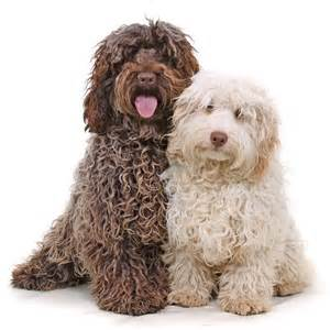 lifespan of cocker poodle cockapoo puppies facts pictures breeders price