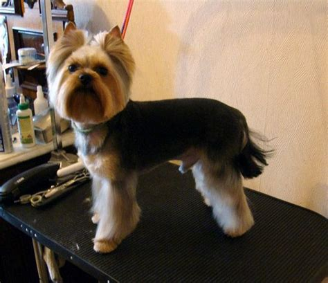 haircuts for yorkshire terriers with silky hair explore yorkie haircuts pictures and select the best style