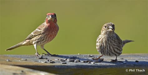 female house finch phil thach phil thach photography blog page 11