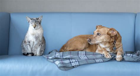 cat scares dog on couch k 9 kats