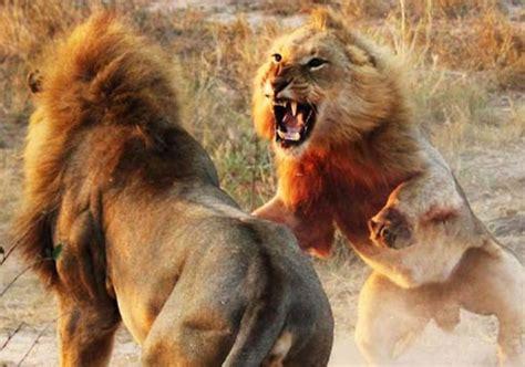 imagenes leones peleando peleas entre leones algunas de las im 225 genes m 225 s salvajes