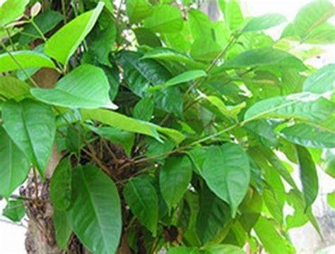 Rhea Bay Leaves Daun Bay daun salam bay leaves indonesia culinary herbs spices fruits