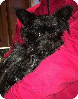 affenpinscher yorkie mix pleasanton ca affenpinscher yorkie terrier mix meet tyson a for