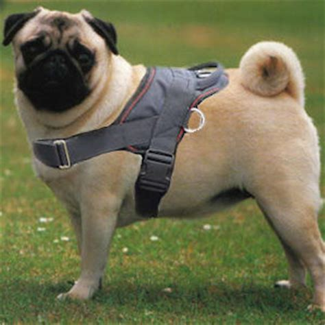 pug collar or harness harness get free image about wiring diagram