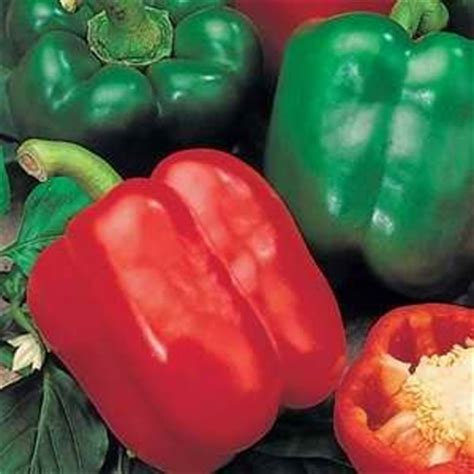 Biji Paprika Merah jual benih biji bibit sayur buah paprika hybrid
