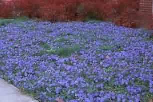 Vinca minor plant habit flowering main page next info
