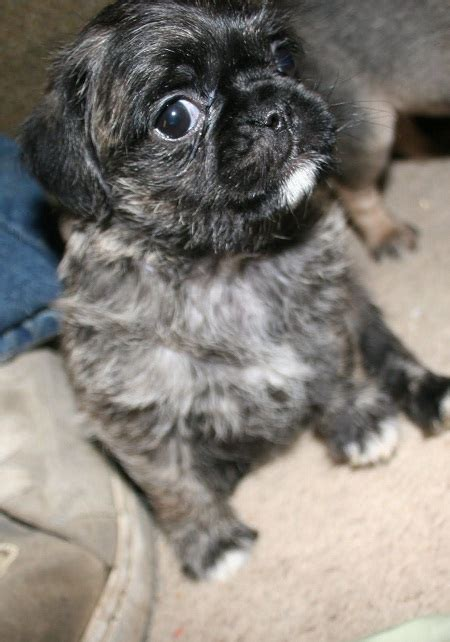 poodle mixed with pug pugapoo pug poodle mix info temperament puppies pictures