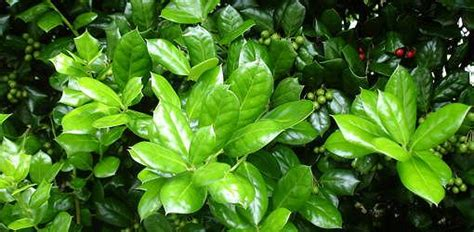 Shamrock Plant Disease Pictures - how to prevent holly leaf spot today s homeowner