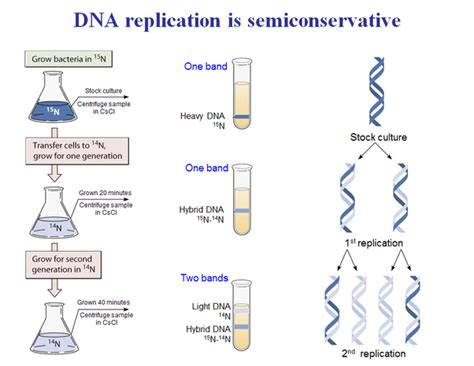 what is the semi conservative model in dna replication