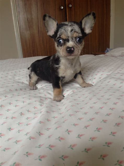 chihuahua puppies oregon blue teacup chihuahua puppies for sale in oregon we are an easy drive breeds picture