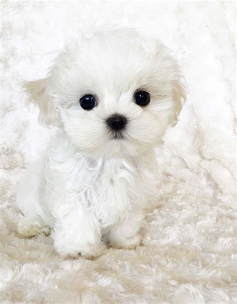 picture of a puppy micro teacup maltese puppy xxs billy iheartteacups