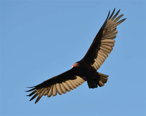 turkey vulture size