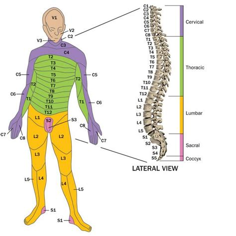 5 sections of the spine spinal cord injury c3 4 c4 5 c5 6 t12 l3 l4 l5 s1