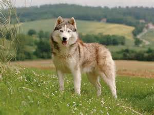 Husky sib 233 rien chien et chiot siberian husky husky d arctique