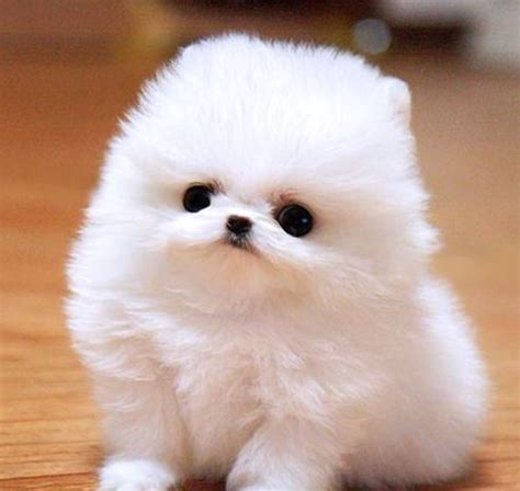 cotton puppy teacup pomeranian breeds picture