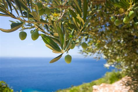 olive tree wallpaper a olive tree on the sea vogli estate