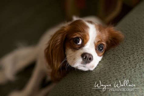 puppy portraits las vegas photographer wayne wallace photography pet portraits how can you not