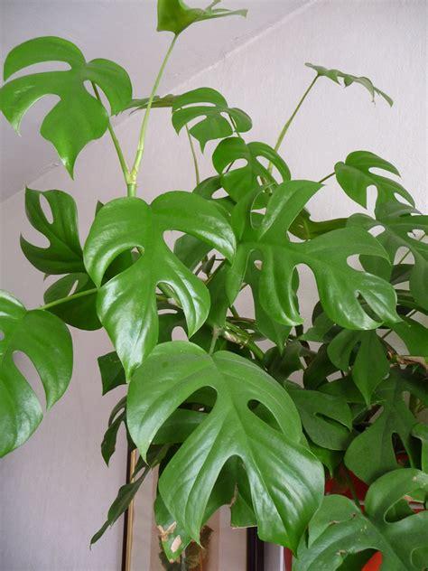 Plante Verte Intérieur by Plantes Vertes Grimpantes D Int 233 Rieur L Atelier Des Fleurs