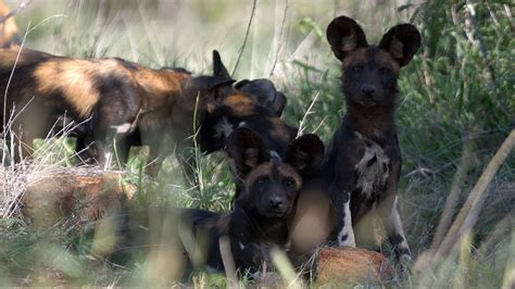 dogs that live the mpala live field guide mpalalive