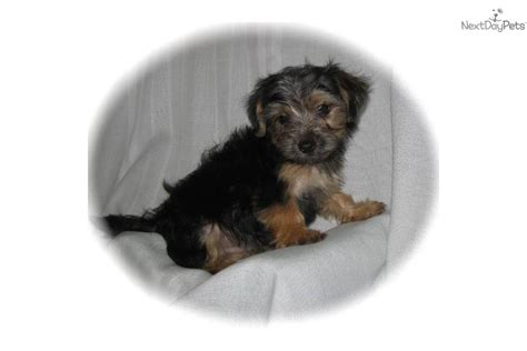 tiny yorkie poos meet yorkiepoos a yorkiepoo yorkie poo puppy for sale for 299 tiny tiny alvie