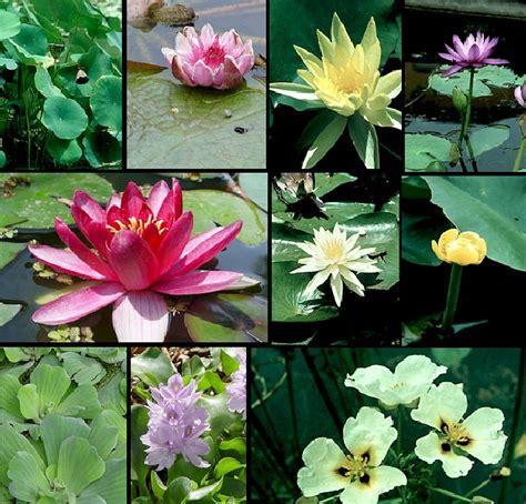 imagenes de flores acuaticas plantas acuaticas sus imagenes y sus nombres imagui