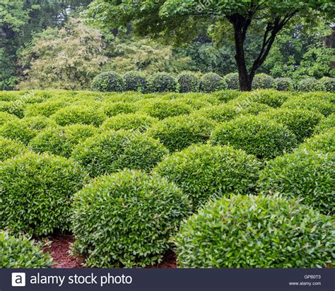 tree and sculpted green shrubs in summer stock photo