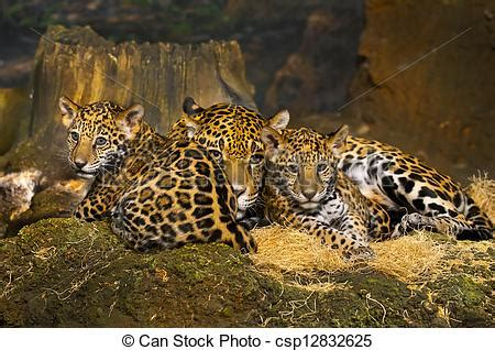 imagenes del jaguar con sus crias stock fotos de jaguar cachorros poco beb 233 jaguar