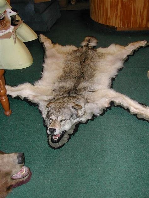 wolf rug taxidermy nj taxidermist richard g santomauro taxidermy novelties wall new jersey taxidermist